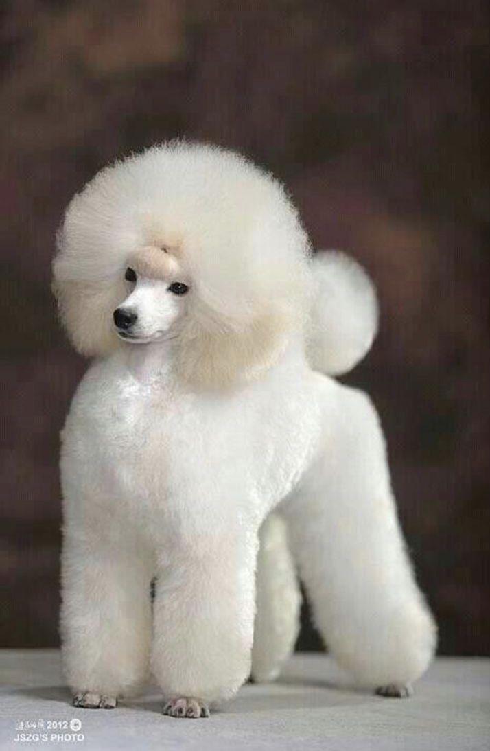 Pin By Rosalie Spear On I Love Poodles Poodle Puppy Poodle Dog