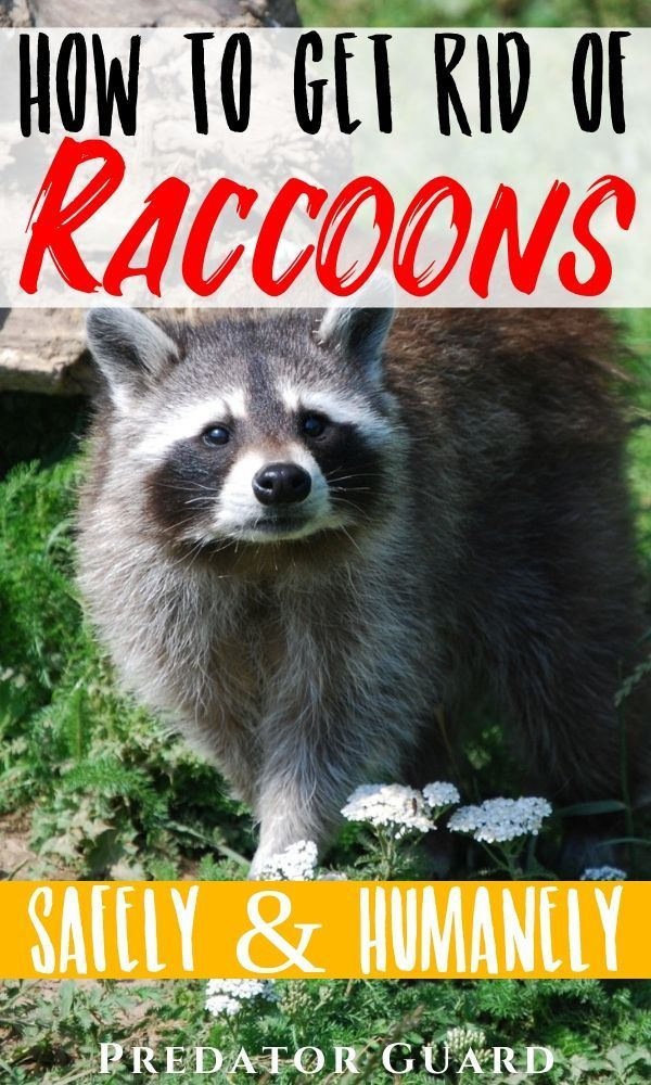 How To Get Rid Of Raccoons Getting Rid Of Raccoons Garden Pests