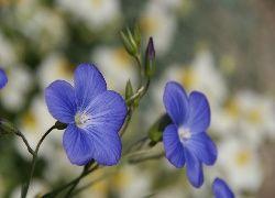 Niebieskie, Kwiaty, Len, Makro