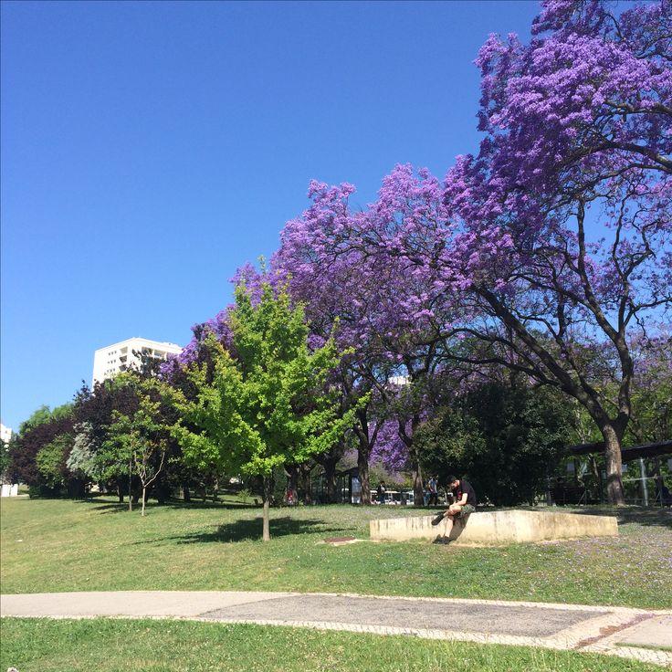 Beautiful Jacarada at Lisbon