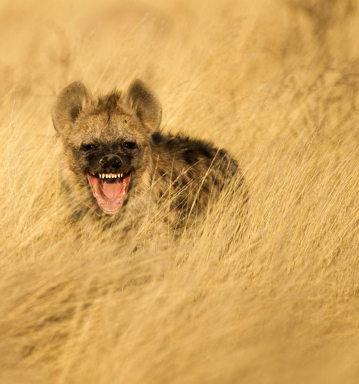 Laughing Hyena by Bridgena Barnard