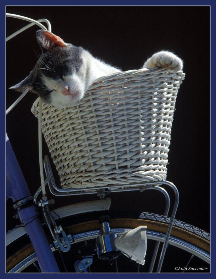 Grey dorme nel cestino della bicicletta #bike
