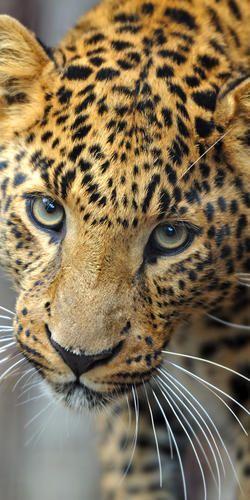 Amur Leopard -  Protecting Wildlife | WWF
