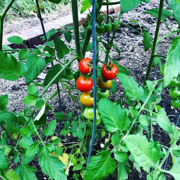 How Far Apart To Plant Tomatoes - Need To Know