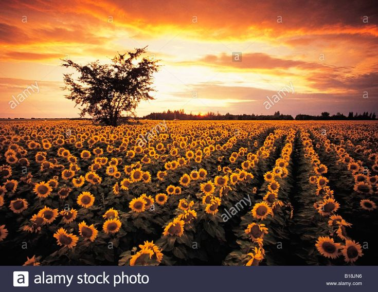 sunflower field near Oakbank, Manitoba, Canada Stock Photo, Royalty Free Image: 18015346 - Alamy