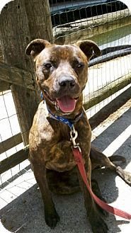 Pls adopt me. I need love and a forever home. New York, NY - Pit Bull Terrier Mix. Meet Tiger a Dog for Adoption. http://www.adoptapet.com/pet/10394425-new-york-new-york-yorkie-yorkshire-terrier-mix