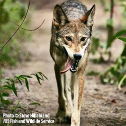 Fewer than 100 Wild Red Wolves Remain in the World...please pin this and sign the petition!!