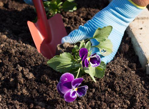 Виола, как вырастить рассаду в домашних условиях