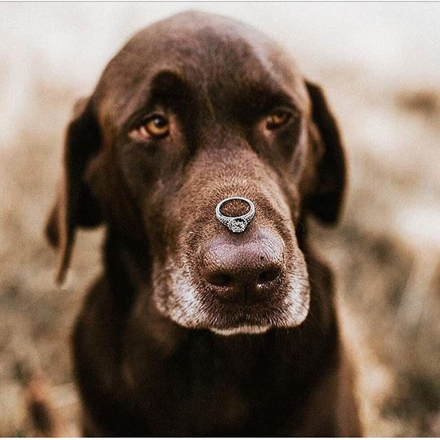 Yes Proposal Engagementring Dog Love Cute Engaged