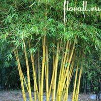 Выращивать бамбук в Подмосковье можно! Самое беспроблемное растение в саду!