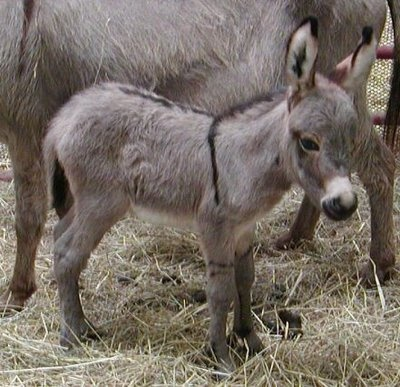 Cute Little Baby Donkey   Baby Animal Pictures