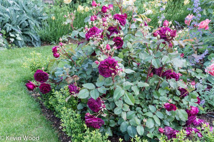 12 best beautiful roses images on pinterest. Black Bedroom Furniture Sets. Home Design Ideas