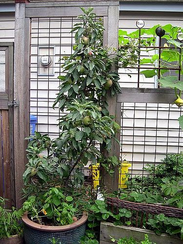 Dwarf Avocado Tree | Dwarf Avocado Trees | The Potted Vegetable Gardener
