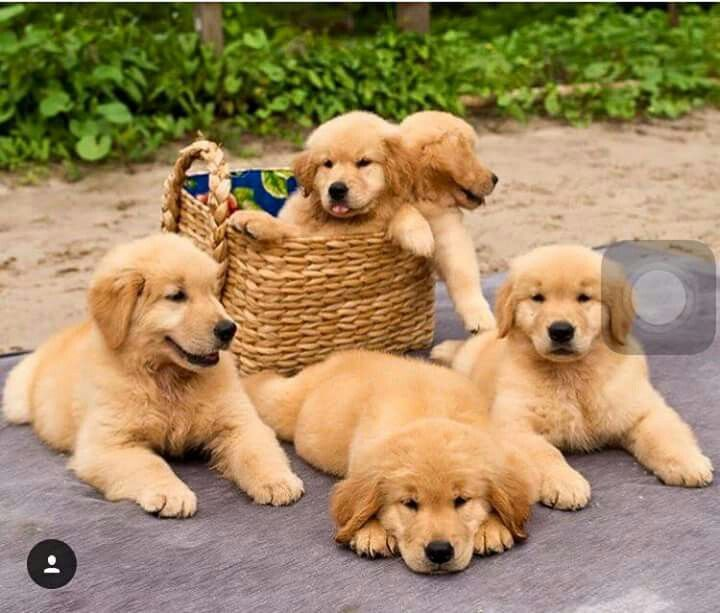 I Ll Take One Basket Of Adorable Dogs Please Retriever Puppy