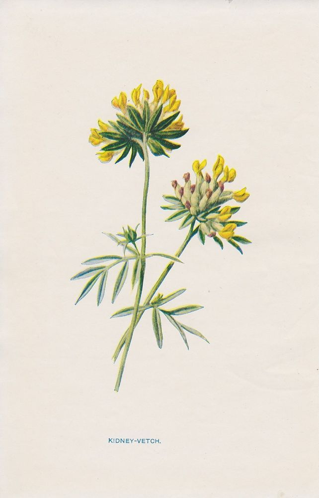 1897 antique Kidney-Vetch flower lithograph print by Hulme.