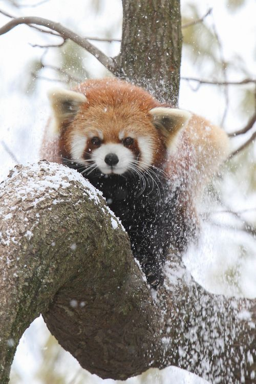 Red Panda shaking off the snow  (by Mark Dumont)
