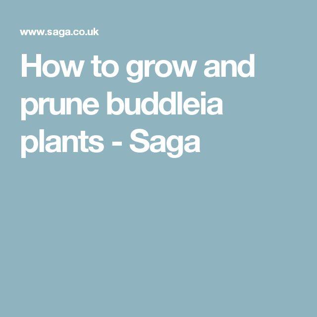 How to grow and prune buddleia plants - Saga