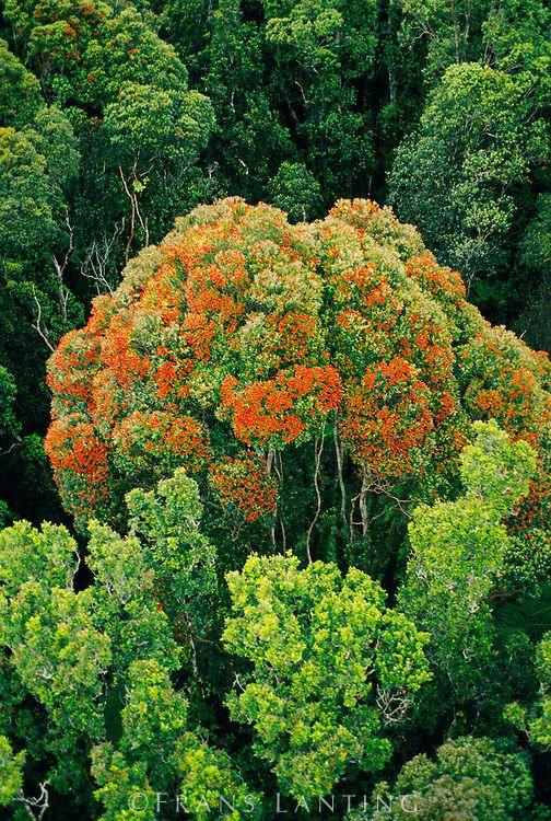 Flowering rata tree (aerial), Metrosideros umbellata, Westland National Park, New Zealand