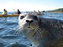 Excursion nautique à la colonie des phoques avec #CapAventure- SN Gaspé Crédit Photos: Chambre de Commerce et de Tourisme de Gaspé