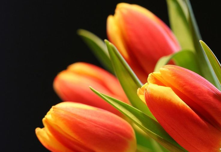 Summer pink tulip flower Wallpapers  Pictures 1024×768 Tulip Flower Wallpapers (35 Wallpapers) | Adorable Wallpapers