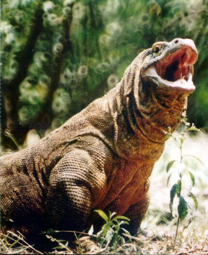 Komodo dragon   THEIIR MOUTH IS SO FULL OF DEADLY BACTERIA, ONE BITE CAN KILL YOU