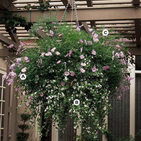 This basket is best in full sun.  A. Swan River daisy (Brachyscome iberidifolia) -- 3  B. Bacopa (Sutera 'Snowstorm') -- 3  C. Asparagus fern (Asparagus sprengeri) -- 1
