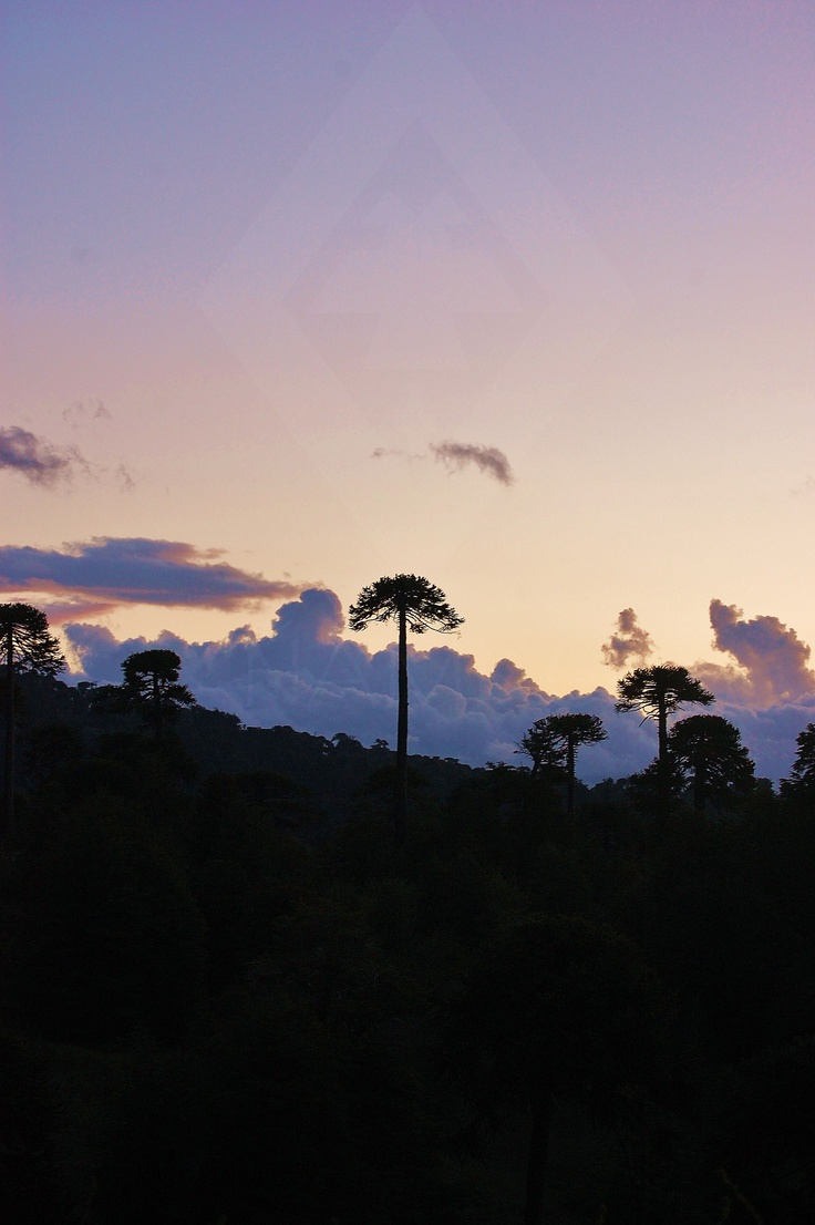 "The silhoutte's of living fossil's, Araucaria Araucana also known as ""Monkey-Puzzle"" Tree or Chilean Pine"