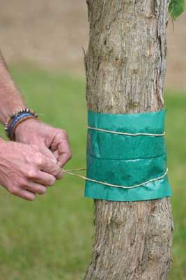 Preventing pests on your fruit trees, from the article Winter Care for Fruit…