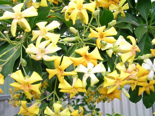 Hymenosporum flavum australian native frangipani. I had two of these in the garden however the big drought has changed that