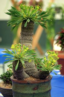 Euphorbia bupleurifolia, amazing like a mini palm tree...Gotta get one!