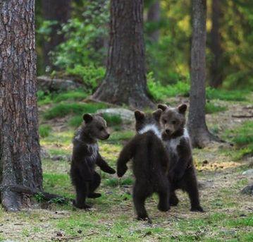 Bear Dance!