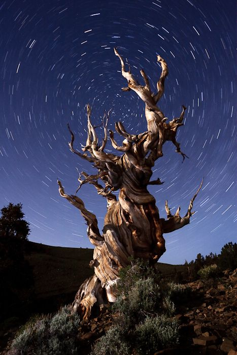 twisted.: Trees Trunks, Bristlecon Pine, Starry Sky, Old Trees, White Mountain, Wonder Places, Ancient Bristlecon, 4700 Years, Oldest Trees