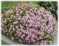 Pinkie hawthorne landscape plan pinterest shrubs for Indian food hawthorne