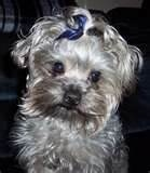 Image Detail for - white yorkie terrier