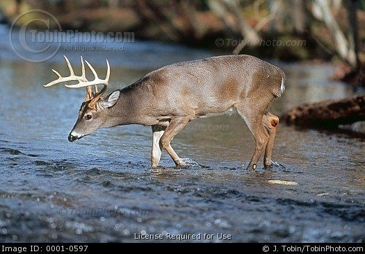 Stock Photo: Photo of a Deer Crossing a Stream