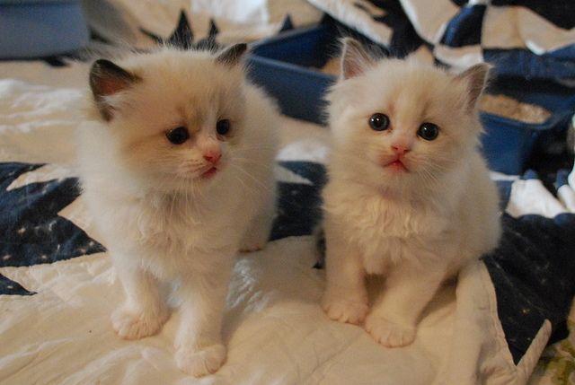 Ragdolls Kittens For Sale Kitten For Sale Kittens Pets