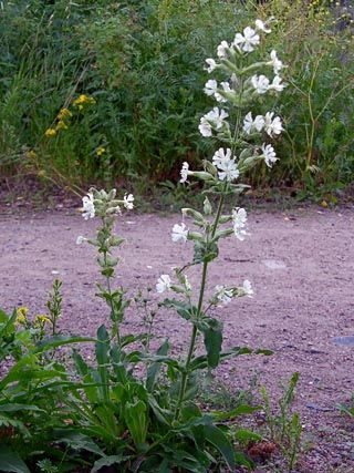 Klebriges Leimkraut, Silene viscosa - Blütenpflanzen - NatureGate