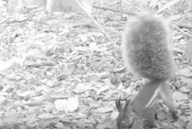 Here's the first ever recorded video of Borneo's 'deer-killing' vampire squirrel