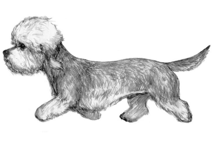 The Dandie Dinmont Terrier Breed Standard illustration.