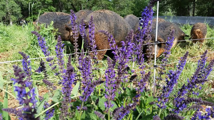Pigs and Flowers!!!  It's what we're all about at #dinnerbellfarm