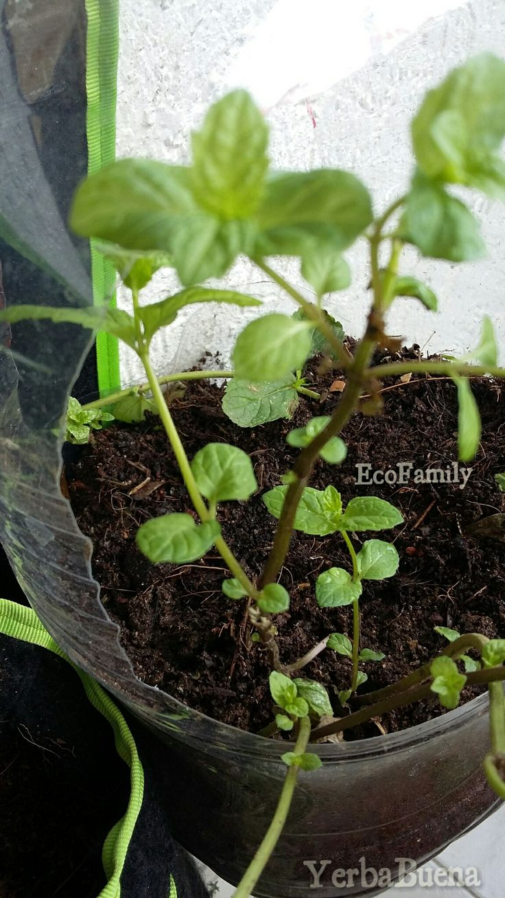 Las nuevas plantulas
