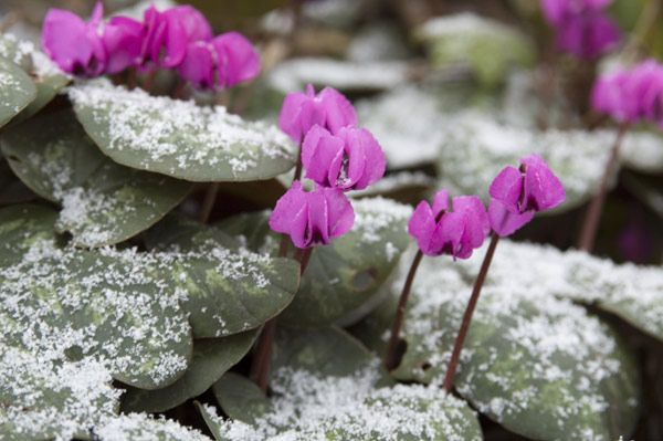 Cyclamen coum - late winter flowering, lovely foliage.
