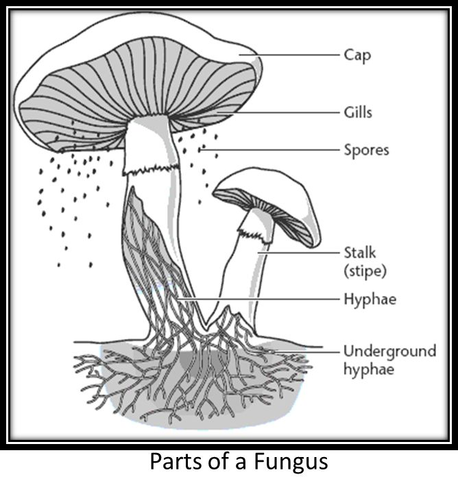 fungus    image parts   The hyphae that grows from    fungal