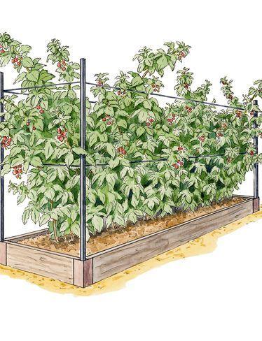 Growing Raspberries - Raspberry Raised Bed System   Gardeners.com