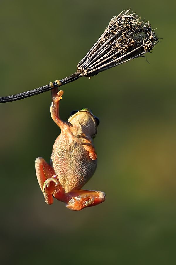 Hanging in there: Funny Frogs, Hanging In There, Strong Arm, Pull Up, Arm Exerci, Teacher, Black Hats, Photography, Animal