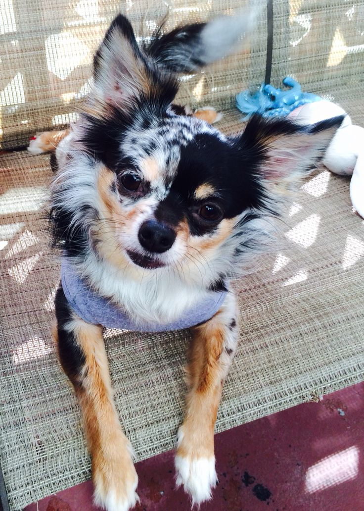 Maya Azul enjoying the nice California weather. Blue merle longhair chihuahua