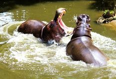 Hippo Fight Royalty Free Stock Photography