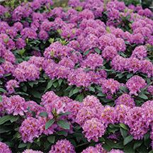 Dandy Man Purple Rhododendron. (PPAF)-Amazing disease resistance and heat tolerance! The lush, deep purple blooms of this beauty deliver a knock-out punch of color in the early spring landscape. It is tough and rugged and will not disappoint. The plant has a nice, well-branched form with evergreen foliage. Works well for foundation plantings, in woodland gardens or mixed borders or even as a specimen plant. Grows 6 to 8 feet tall and 6 to 9 feet wide.