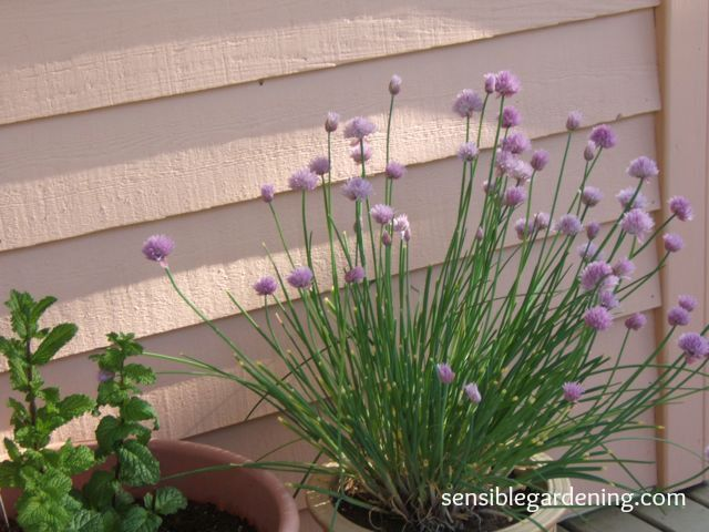 Potted Herb Gardens | SENSIBLE GARDENING AND LIVING