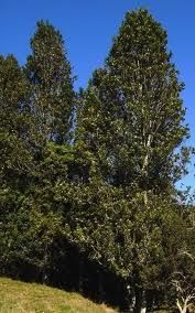 rewarewa-tree-specimen-arbortechnix-tree-species